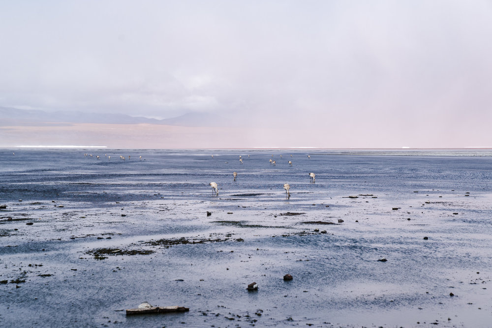 Flamingoes feed in the shallow salt lakes. Bolivia