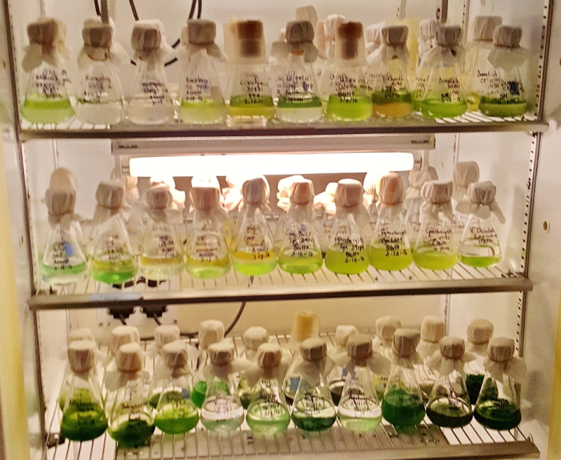 Some of the numerous cultivations of algae being studied and grown at the Microbial Ecology / Biogeochemistry Research Laboratory