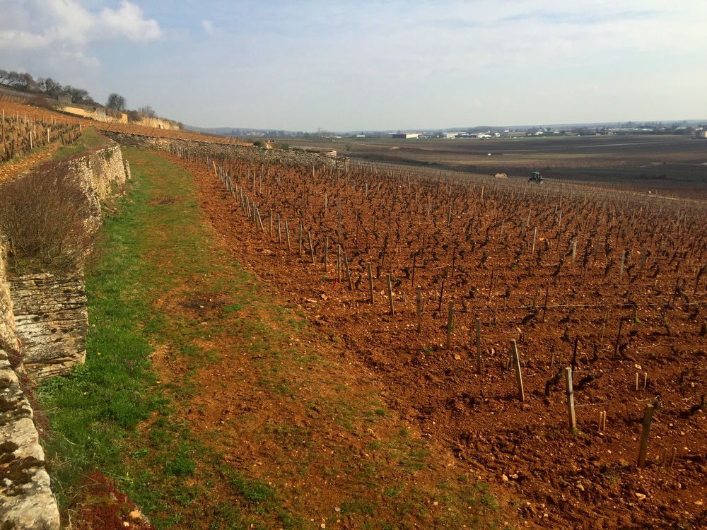 One of the most beautifully situated vineyard in all of Burgundy and the crowning jewel of the Chanson holdings, Beauve Clos des Fèves. Note the fractured limestone rift on the left.