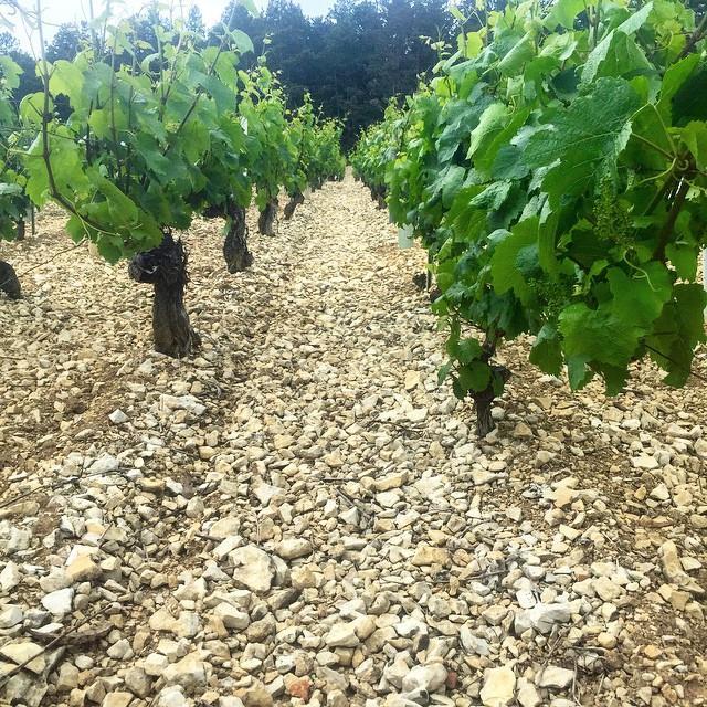 White soil of Chablis Grand Cru 'Blanchot'