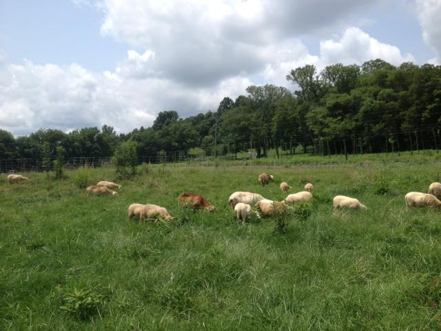 Our sheep working on a lush paddock of grasses and weeds near the front of the farm.