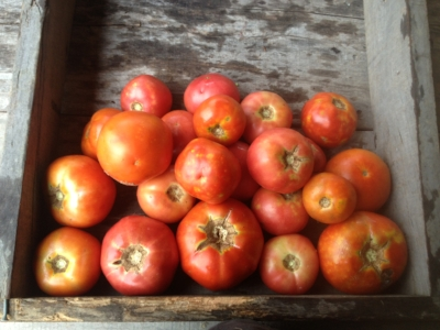 About 10 lbs of Grade 2 tomatoes, complete with a few cracks and bruises...