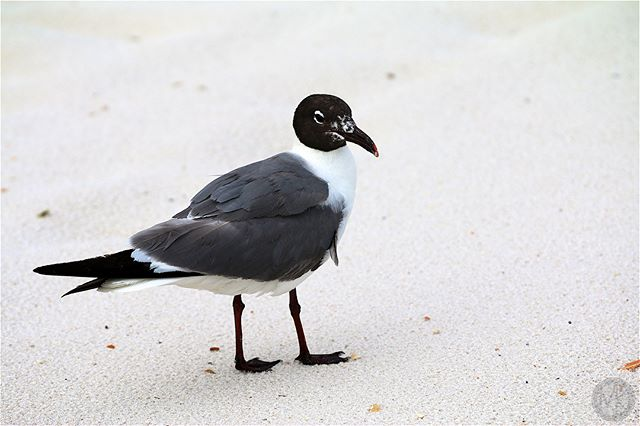Dinnertime! #orangebeach #birds #gulls #seagulls #afterthestorm