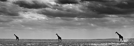 Three Giraffes Crossing the Plains of Tortillis Nikon D3s, 70-200mm f/2.8 @ 80mm, f/8.0 ISO 200 at 1/800 sec