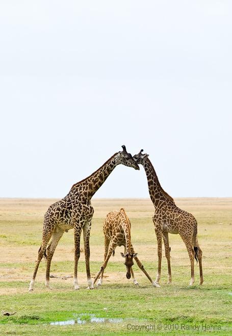 Giraffes Drinking Nikon D3s, 70-200 f2.8 VR @ 200, f/8.0, ISO 200 at 1/500 sec