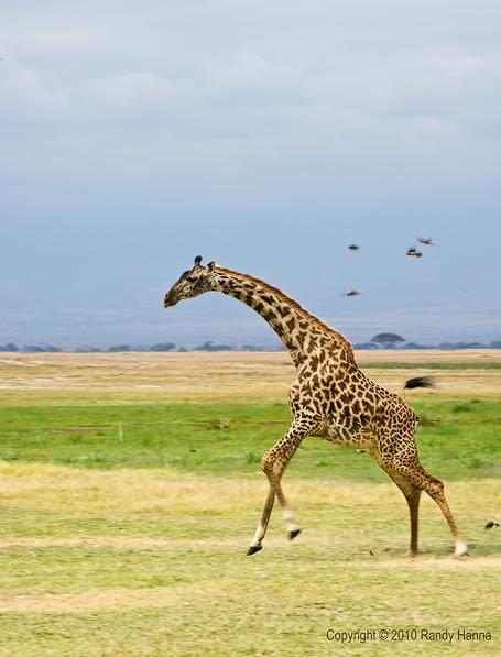 Giraffe Running Nikon D3s, 70-200 f2.8 VR @ 200, f/22, ISO 200 at 1/60 sec
