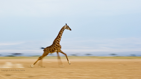 Giraffe Running Full Speed  Nikon D3s, 70-200 f2.8 VR @ 200, f/8.0, ISO 200 at 1/20 sec