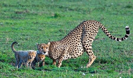 Mother and Cubs, NDutu Area, Tanzania, Nikon D300, 500mm +1.4TC