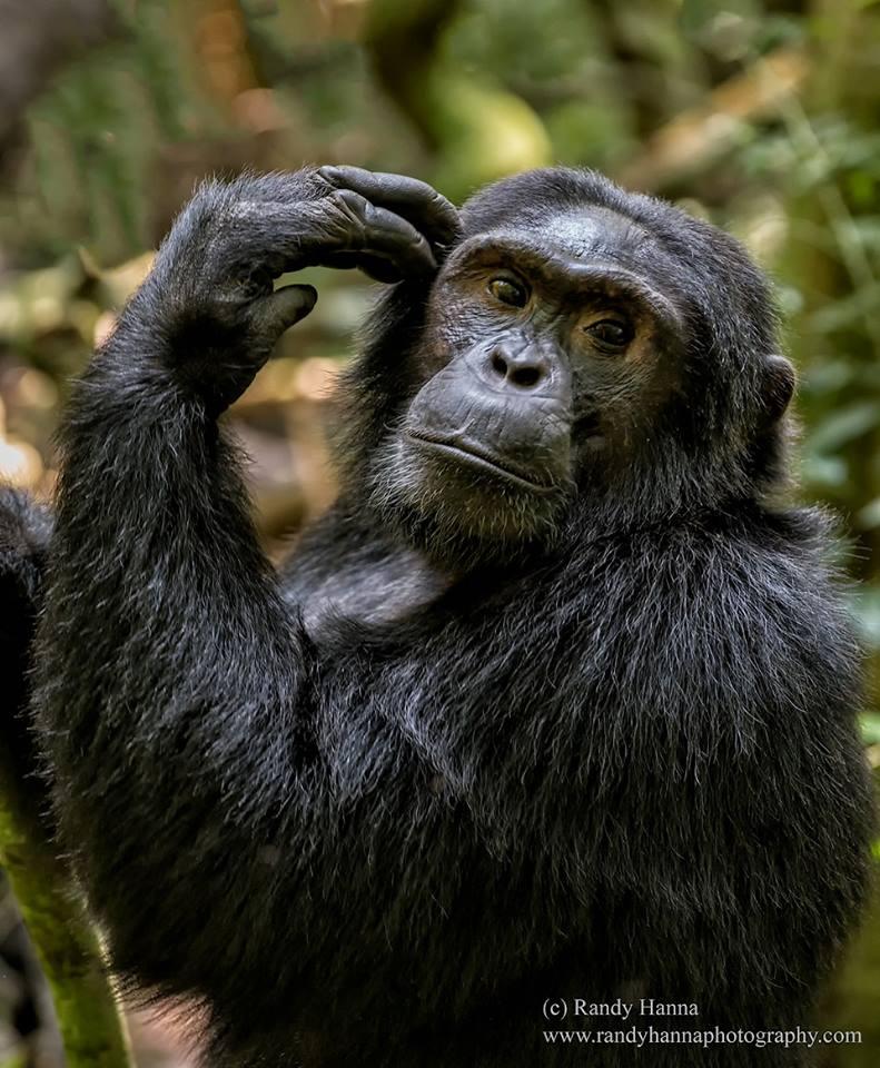 totie-chimp