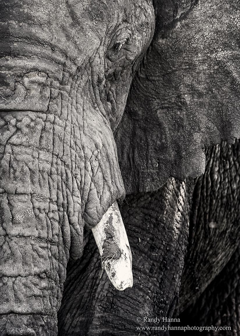 Elephant Ndutu, Tanzania Nikon D810, Nikon 400 f/2.8 FL, ISO 200, f/5 @ 1/80 hand held