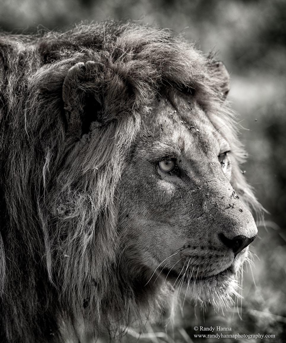 Lion Nikon D810, Nikon 400 f/2.8, ISO 200, f/4.5 @ 1/640 hand held