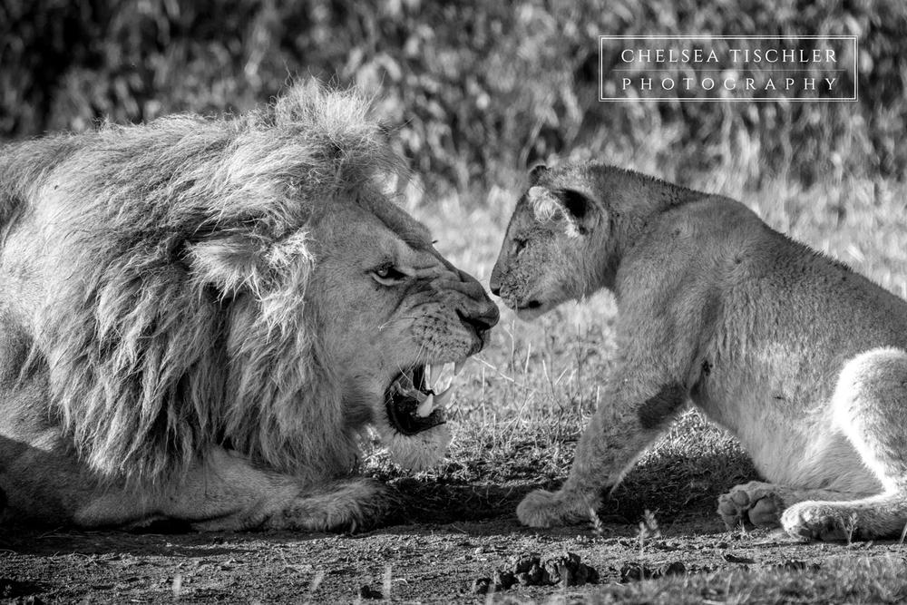 lion-chelsea