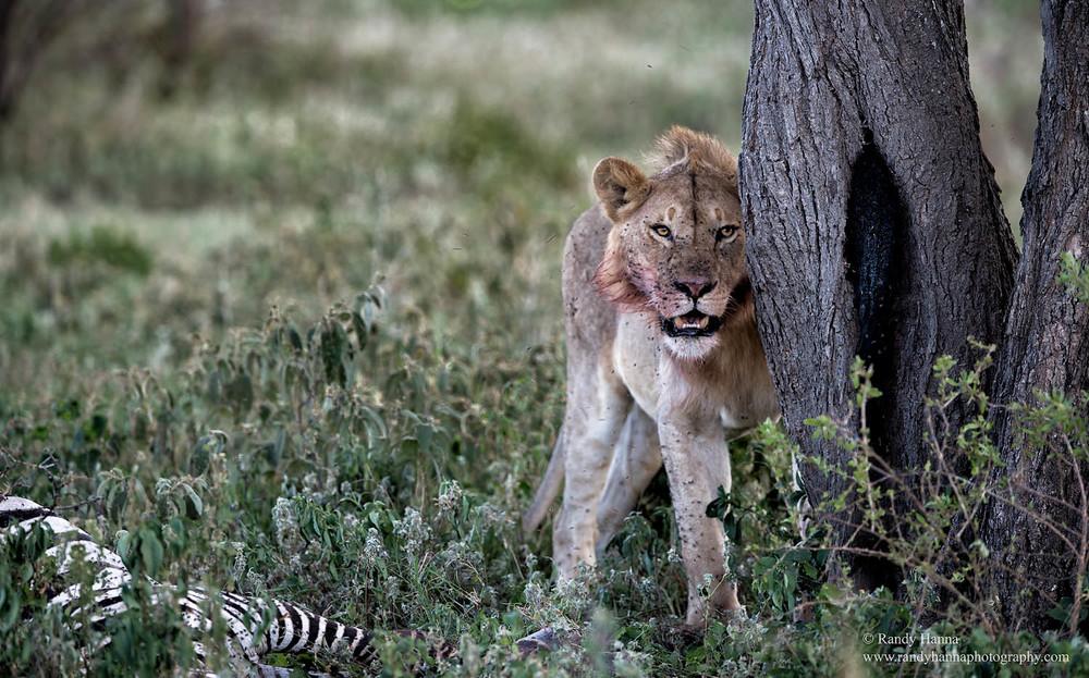 lion-guarding-kill