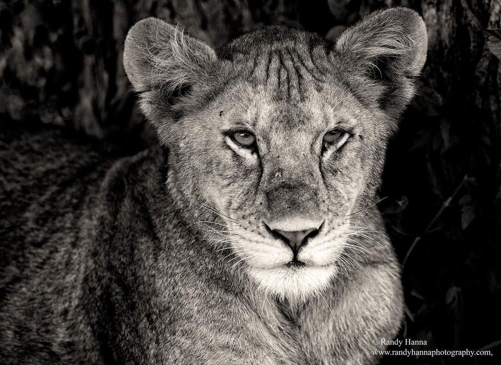 namiri-bw-lion