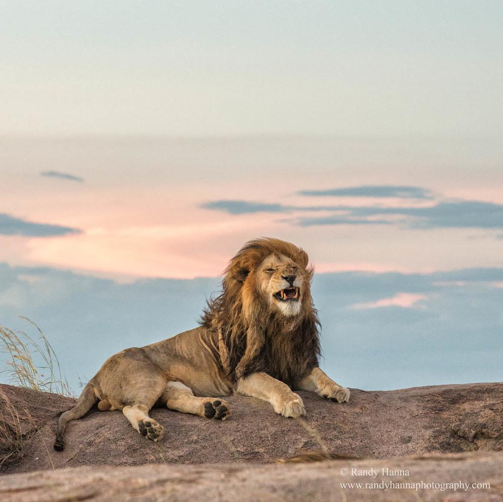 ziggy-lion-naimiri