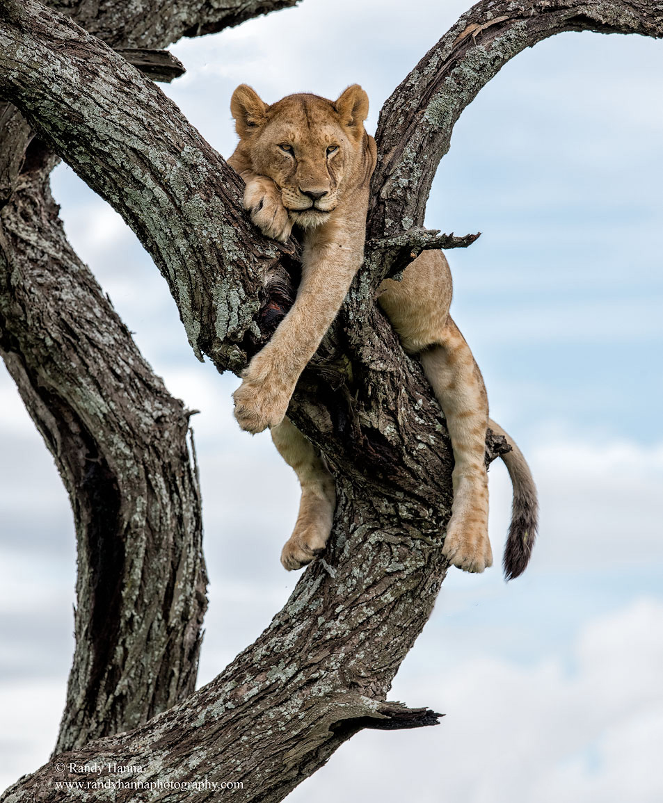 lion-tree-serengeti