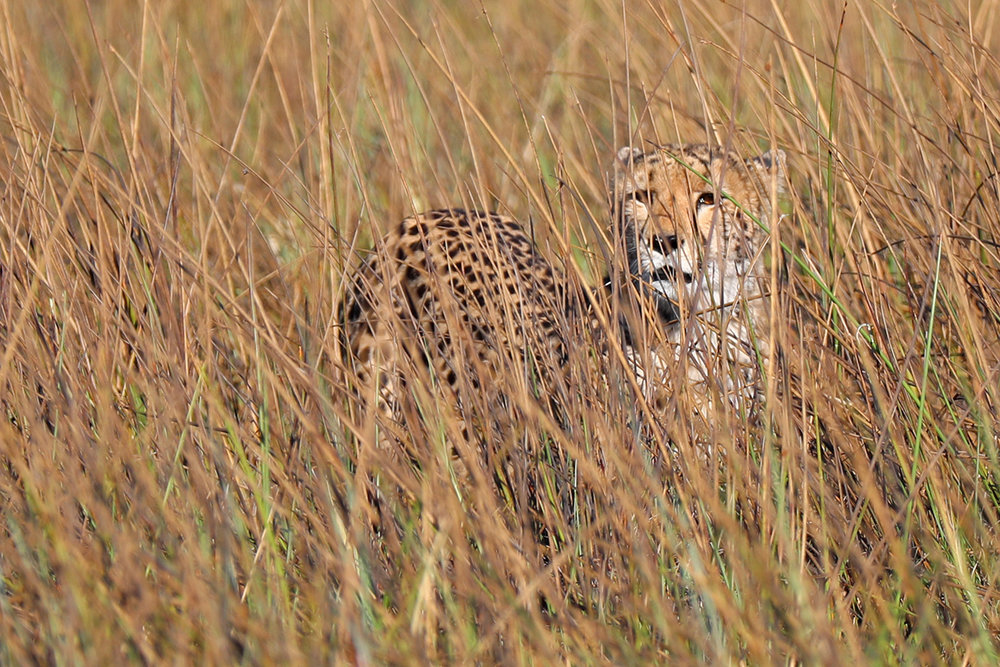 cheetah_botswana