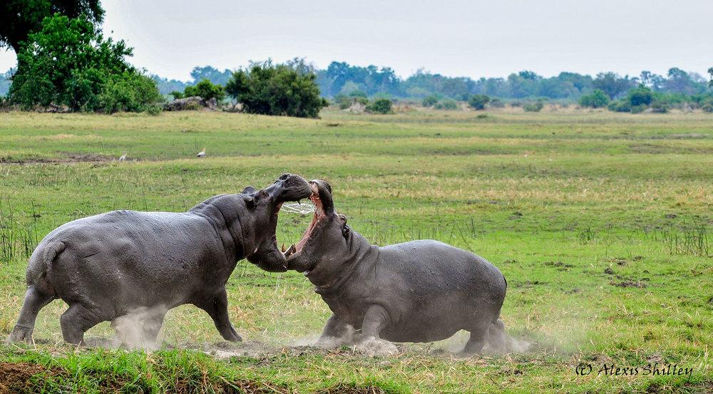 alexis-hippos.jpg