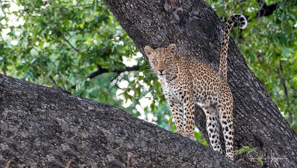 RANDY1-leopard.jpg
