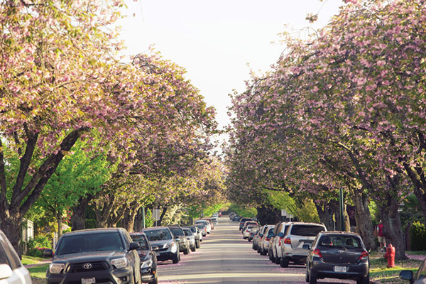 Cherry blossoms in full bloom. (Vancouver Magazine/Western Living - Source)