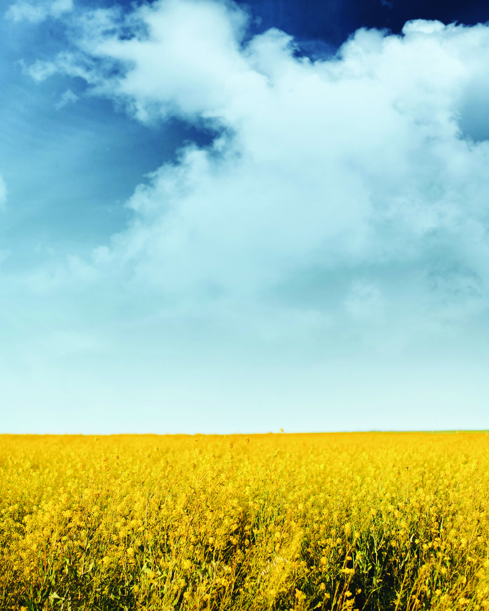 mustard-field-print-1.jpg