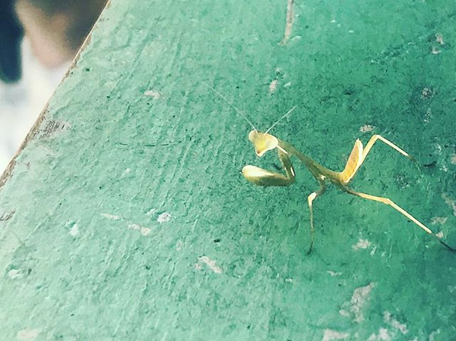 Praying Mantis grabbing some rays.