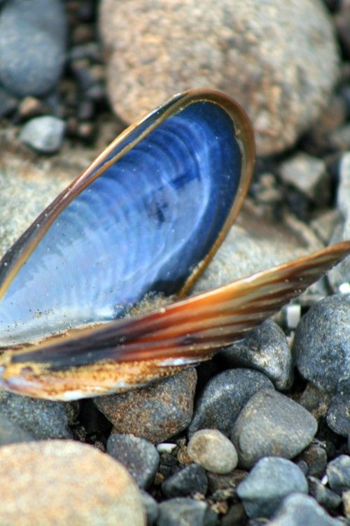 spirit-warrior-blue-clam-medicine.jpg