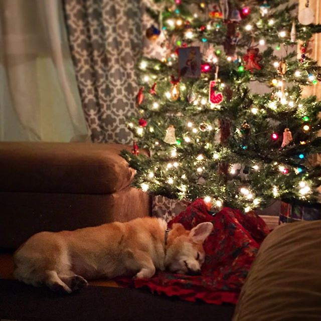 Congratulations! You made it through #monday ! Here's a picture of a #corgi sleeping under a #christmastree !