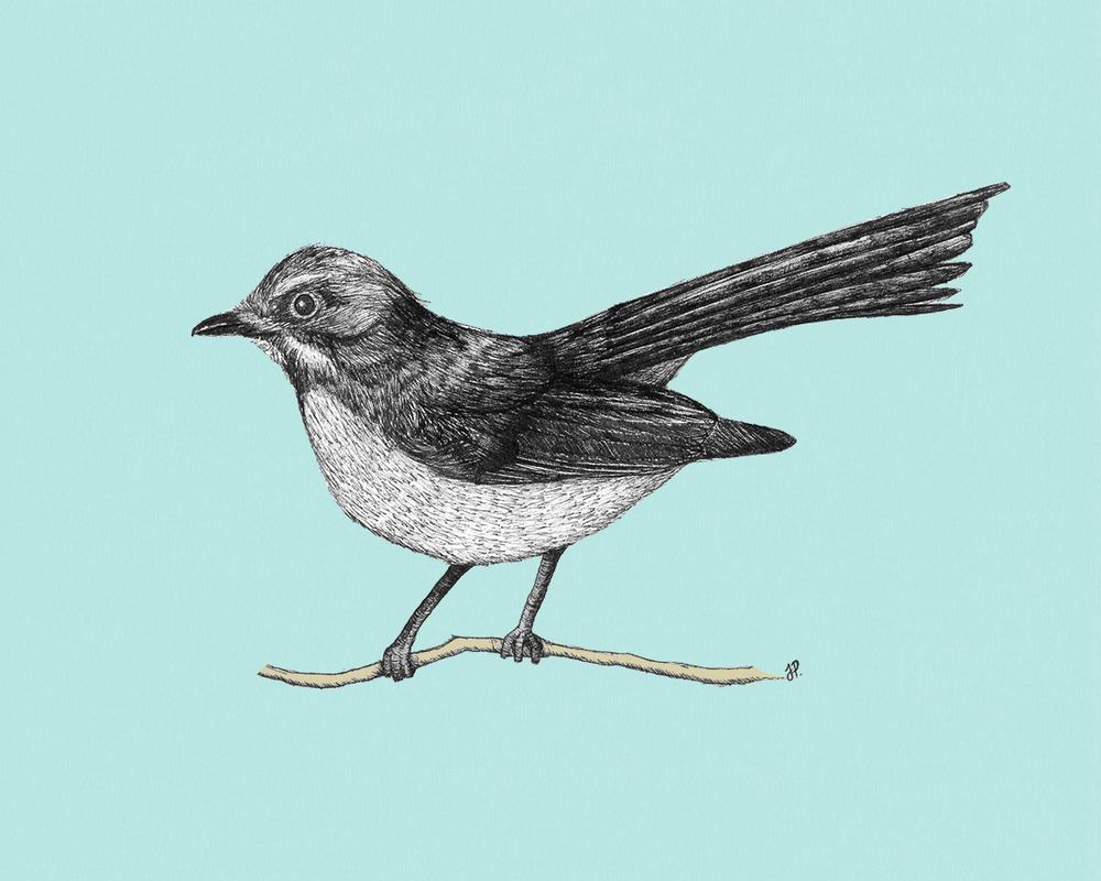 Willy Wagtail  by   Jess Parker   is licensed under   CC BY 2.0