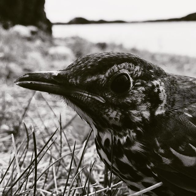 #bird #birds #trost #blackandwhitephotography #bnwphotography #photography #graphicdesigner #grafiskdesigner #graphic #grafisk #graphicdesig #sorthvitt #blackandwhite #grafiskdesign