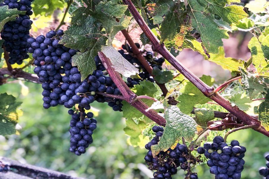 grapes3.png