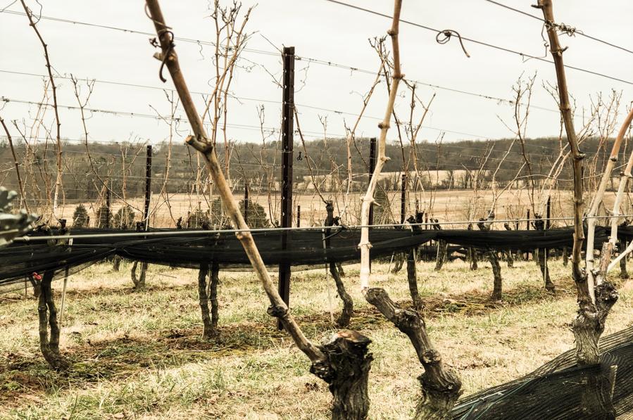 vineyard4.png