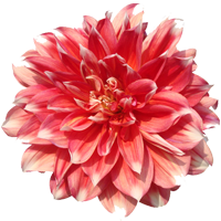 Dahlia   Season: June to November  Colors: Many Colors