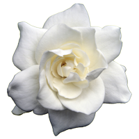 Gardenia   Season: Year Round  Colors: White