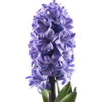 Hyacinth   Season: March to August  Colors: White, Pink, Purple