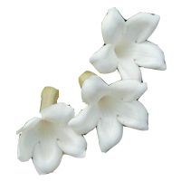 Stephanotis   Season: March to September  Colors: White