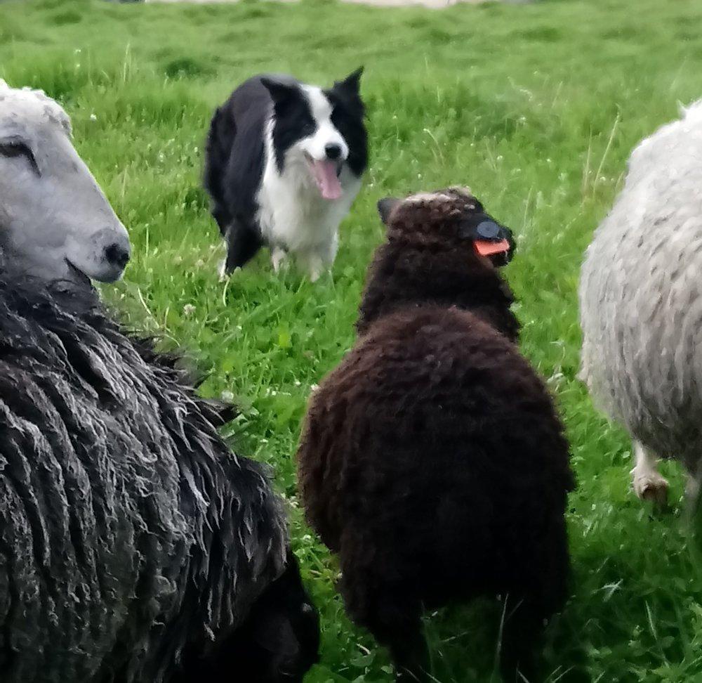 En la nómina, tenemos animales de trabajo que entrenamos para las labores diarias. Ruco, un Border Collie de pastoreo, Chihiro, Pastor del Caúcaso guardián de ovejas, y los caballos para carreta, arar y de silla.