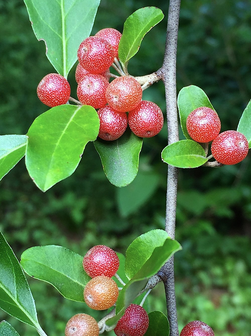 Eleagnus_lanceolata_fruits.jpg