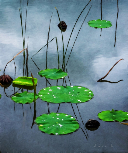 Lily pads 2014