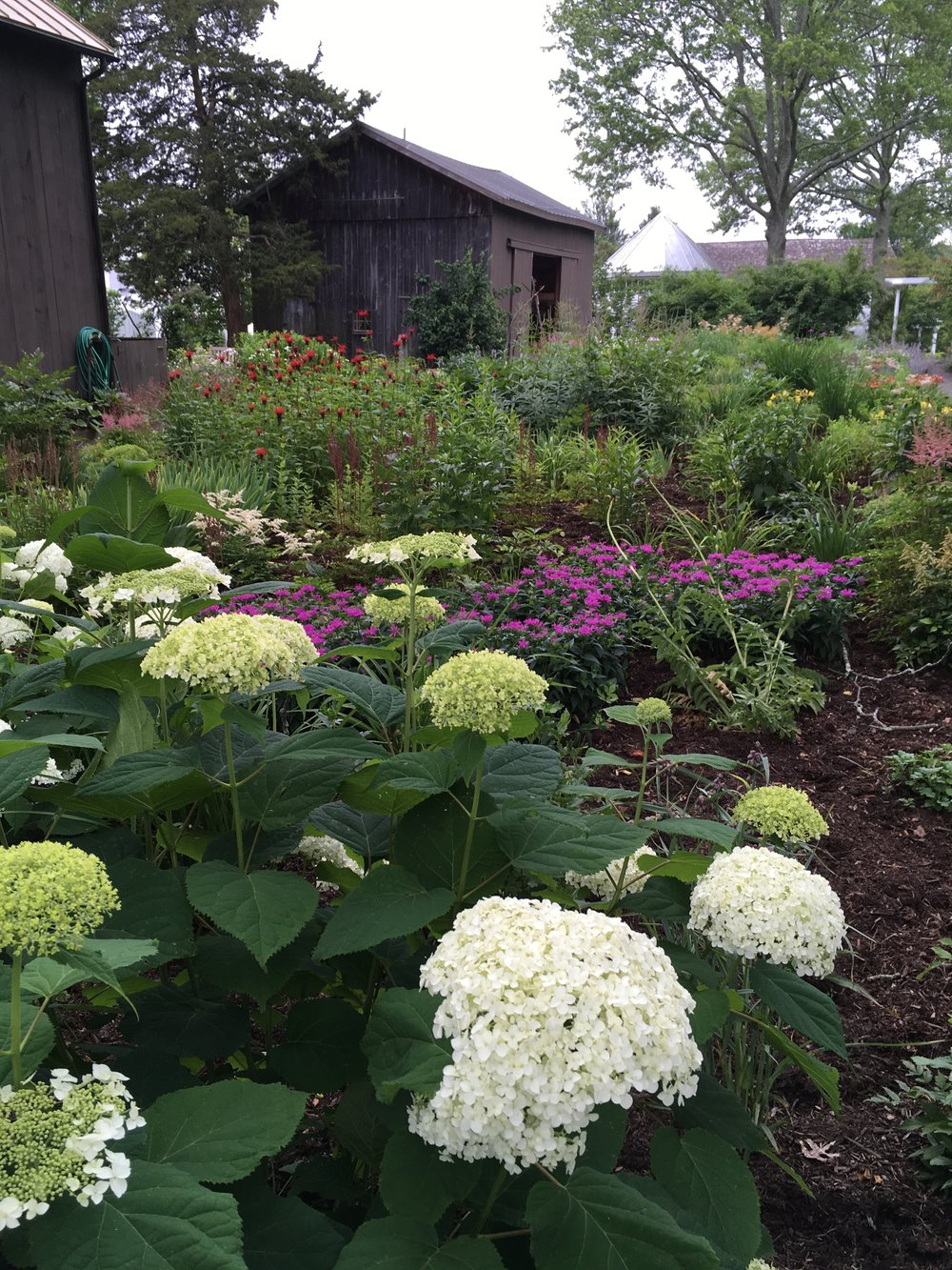 Hydrangea blooming in the Gardens, in front of a few of the museums outbuildings.