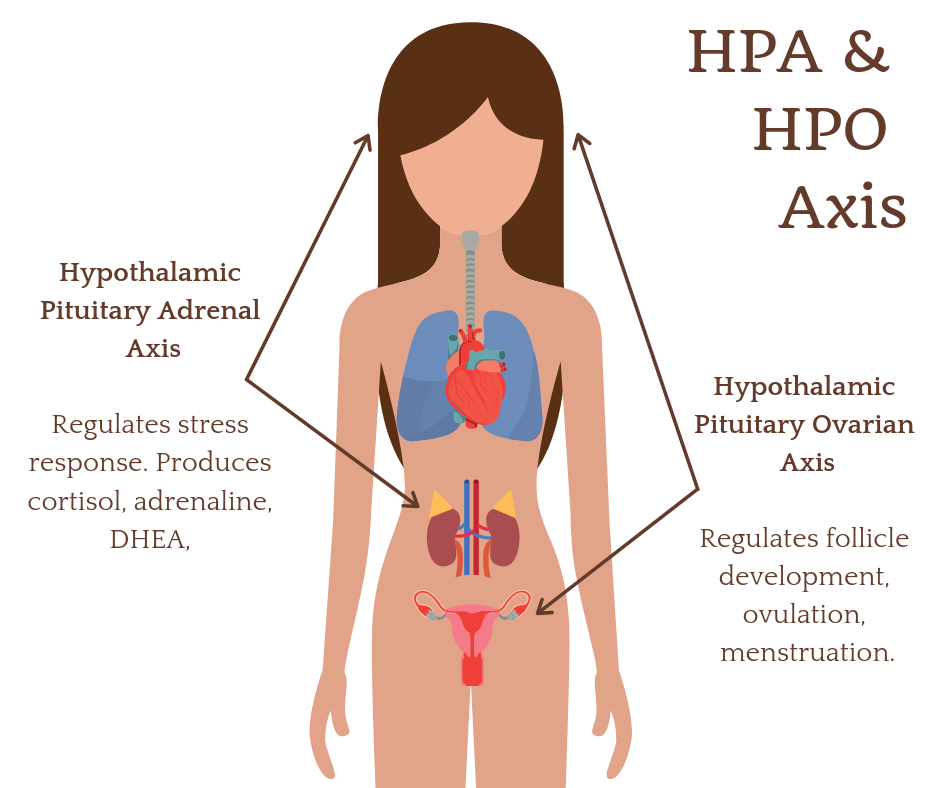 HPA Axis HPO Axis in PCOS.png