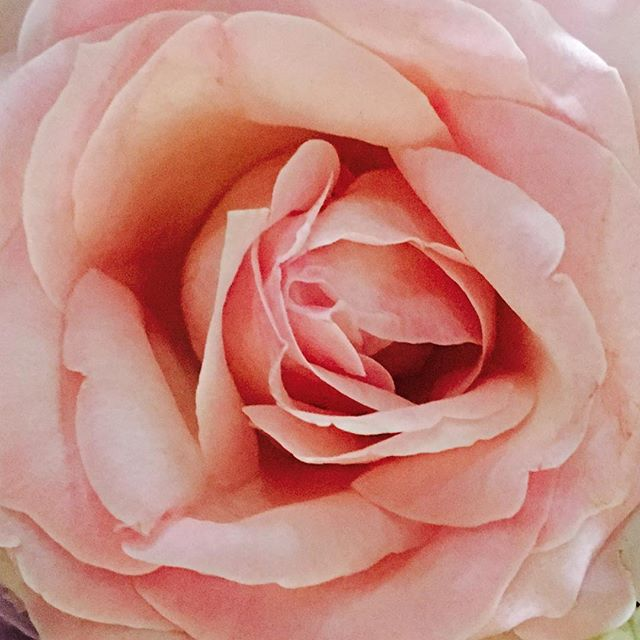 So pretty and the smell is absolutely divine #roses #scentofroses #beautiful