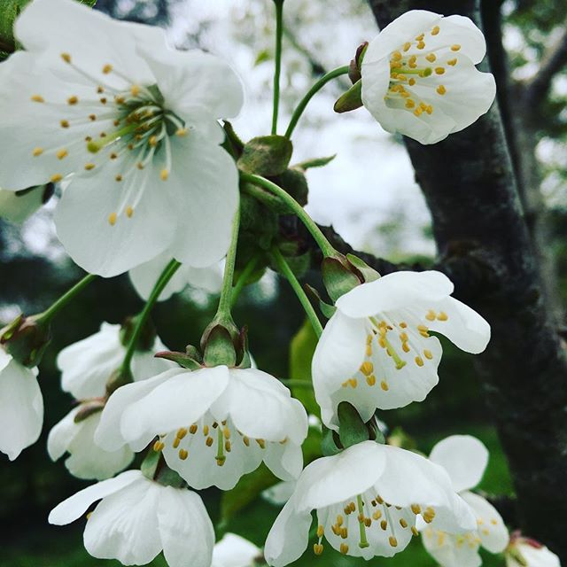 The beauty of spring #spring #flowers #blossom #beautiful #harrogate