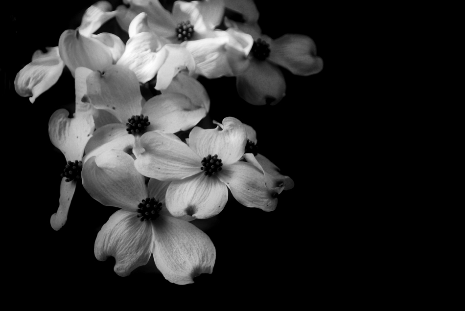 Photo-dogwood-flowers-blossoms-black-white-recent-technology-news.jpg