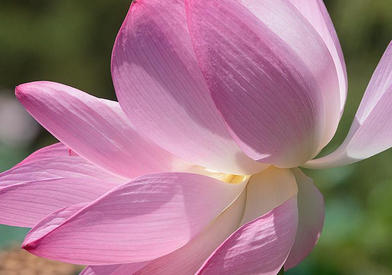 Lotus Bloom. 2015.Canon 5DSr.