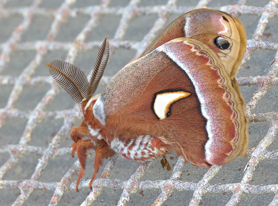 Cecropia Moth. 2017 Canon 5DSr.