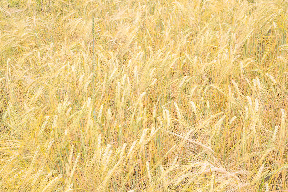 Barley. San Mateo County Farm. 2017. Canon 1Dx II.