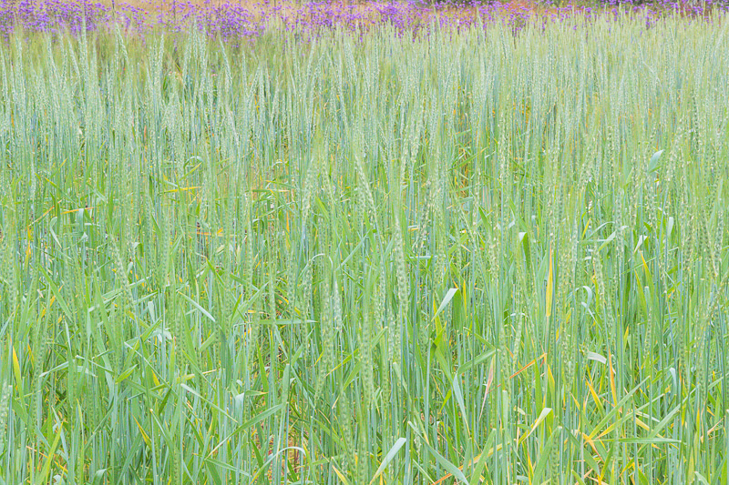 Wheat and Purple Verbena. 2017. Canon EOS 1Dx II.