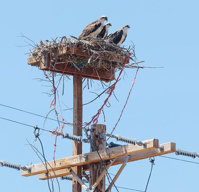 Young Osprey on Power pole Nest. Oregon. 2017. Canon 5DSr.