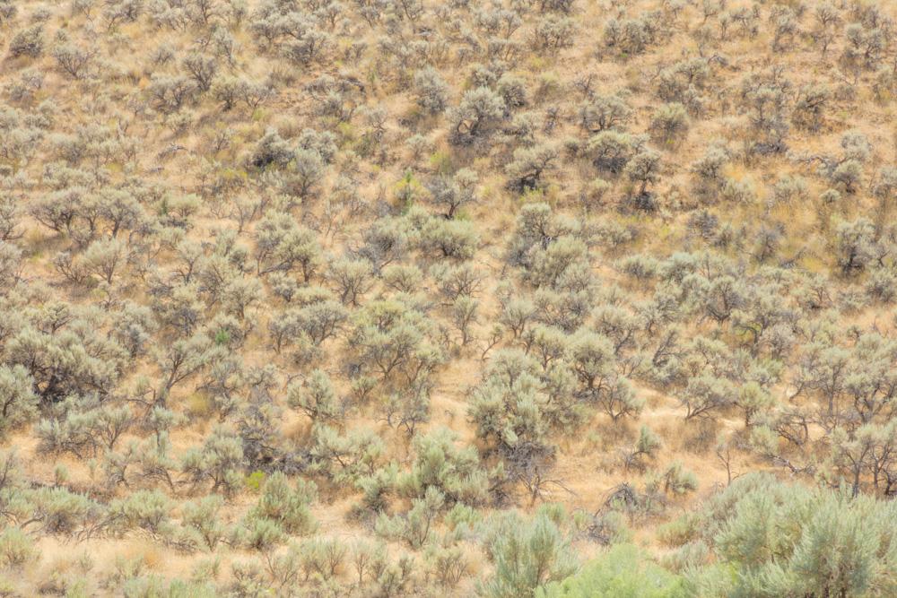 Sage and Rabbit Brush. Thomas Condon Paleontology Center. 2017. Canon 5DSr.